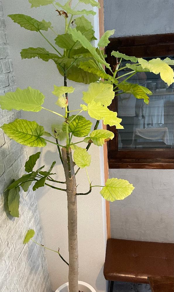 頂いた観葉植物です。 室内に置いてます。 ミルミル葉が落ちて黄緑色の葉が生えています。このままの環境で大丈夫なのでしょうか?病気か何かでしょうか? 分かる方いらっしゃいますか?