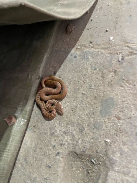 北海道です。 なんて名前の蛇でしょうか 放置しちゃいましたが無毒ですか?
