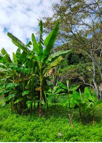 先日山の中で巨大な葉っぱのような木に遭遇しました。恐竜が出てきそうな雰囲気の葉っぱです。名前分かれば教えてください。