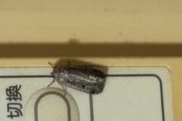 この蛾は何という名前の蛾ですか? エアコンのリモコンについていました笑 写真横向きですみません