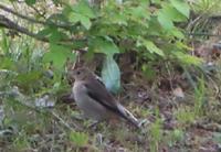 至急 このスズメに似た小鳥の名前教えてください。  よろしくお願いします。