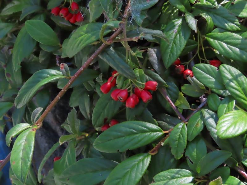 この赤い実をつけた植物は何というのでしょうか?