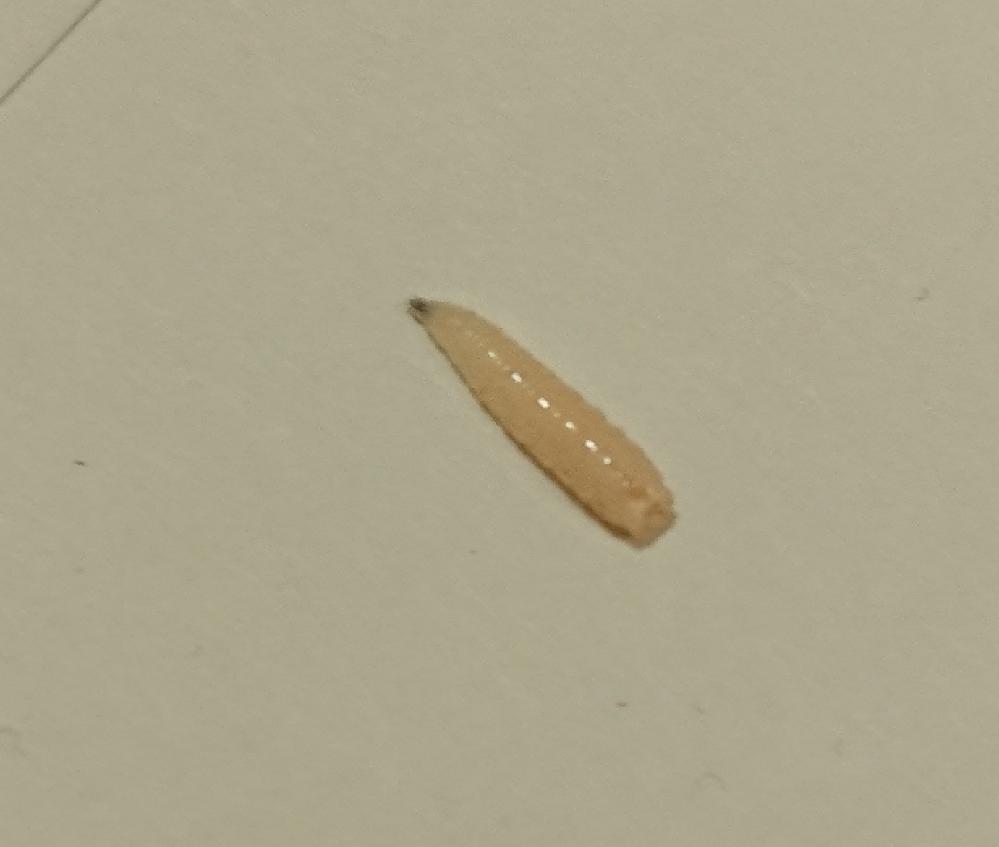 これは何という虫でしょうか?? 夕方頃仕事場から帰宅した際、リビングキッチンの床に数匹の芋虫がはってました。(見たかぎり15~20匹ほど) 床の隅の物をどかしたらそこにも20匹~30匹以上いました。 リビングにはキャットタワーもあり、その中(キャットタワーに貼ってある布の内側)にも数匹消えていきました。 何の虫かわからず対策が立てれずにいます。 1cmくらいで肌色っぽいです。 (大きいもので伸びて1.5cmないくらい)