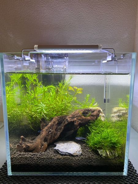 超小型水槽飼育 小型水槽飼育初心者です。 水槽:20センチキューブ画像のとおり 日数:生体導入から3週間弱経過 生体:グリーンネオテトラ3 オトシンネグロ1 ミナミヌマエビ1 過密気味ですが、生体追加を考えています。(1匹ないし2匹) 混泳相性や単体で入れても問題ない生体等検討しています。 ´この現状でオススメの生体があれば教えてください!´ 生体導入やめろ!っていう意見でも構いません。