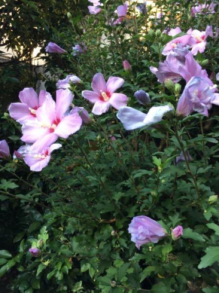 庭の植木の名前を忘れてしまいました 約2.5mくらいの高さがあります 9月中旬から花が咲き始めました ご存知の方、教えてください(*'ω'*)