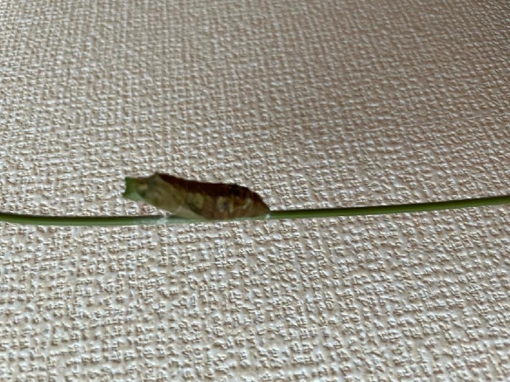 アゲハが蛹になり9日目になりました。最初のうちは色がどんどん変わり体が茶色っぽくなってたのですが今見たら下の方に白っぽいカビみたいなのが見えてきました。 もしや死んじゃっているのでしょうか⁈是非知っている方教えてください!