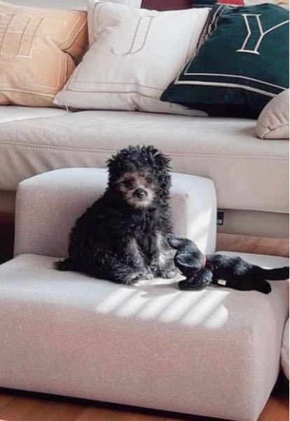 インスタの広告に出て来たこの犬が可愛くて、犬種を調べたんですが分かりません。 知っている方いたら教えてください。