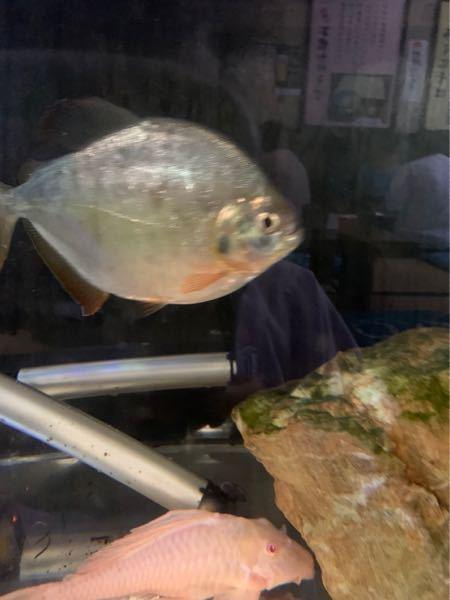 魚の名前を教えてください(2匹)