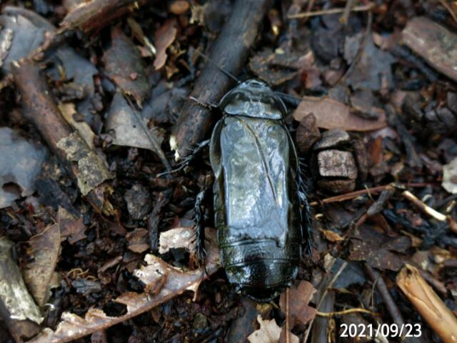 真っ黒な虫の名前を教えてください、 岐阜県吉田白山で、 撮影20210923