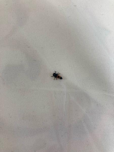 この虫はなんでしょうか? 布団干したら付いてました。