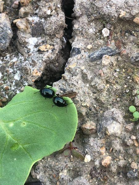 大根と白菜を家庭菜園で栽培しています。昨年はほとんど気にならなかったのですが、今年は黒光りした小さい虫が目立ちます。とりあえず見つけたら潰していますが、効果のある殺虫剤はありますか?