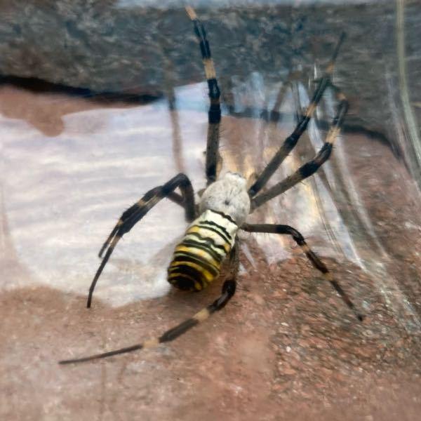 このクモの名前分かりますか?