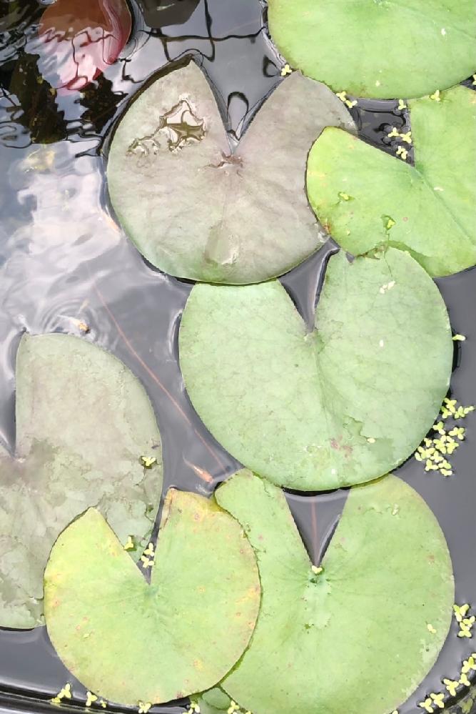 この睡蓮は温帯睡蓮ですか?熱帯睡蓮ですか!? 温帯睡蓮だった場合、関東の冬はこのまま越冬可能でしょうか?
