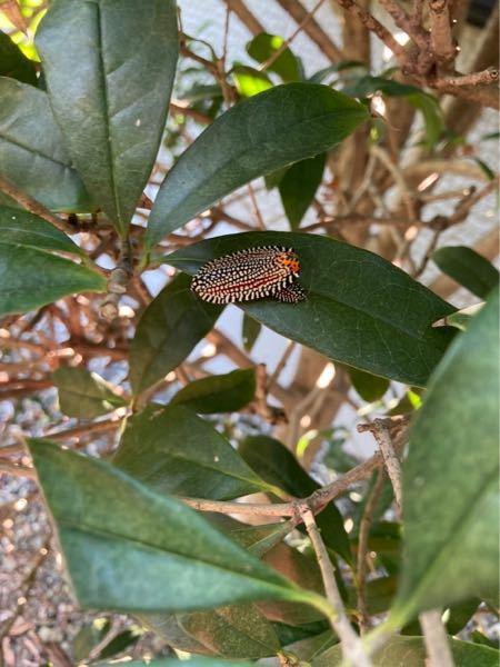 この葉っぱの上にいる虫、なんの虫かわかる方いますか?ここ数日金木犀の木に止まっています。 大きい個体の下に小さい個体が見え隠れするように見えるのですが、はっきりは見えなくて定かではありません、