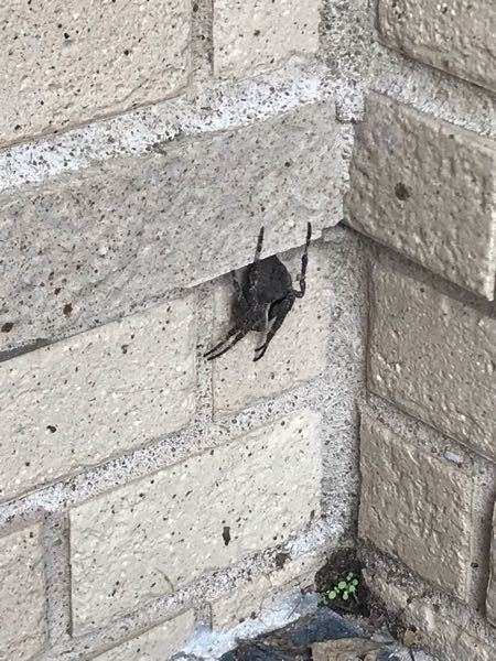 これは何の蜘蛛でしょうか?鬼蜘蛛?