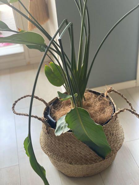 ストレリチアニコライの茎が長く伸びすぎて折れ曲がってしまっています 紐で固定してるのですが、これは切ってしまっても良いものなのでしょうか?