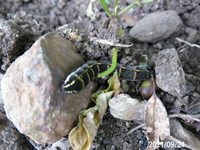 芋虫の名前を教えてください、 岐阜県美濃金山城跡で、 撮影20210924