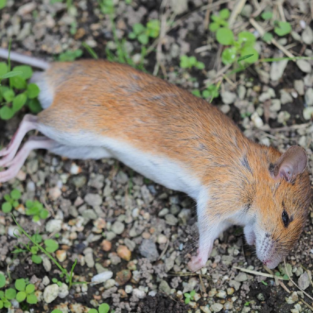 このネズミ科の動物の名前は何でしょうか? . 庭で死んでいるのを見つけました。見た目はネズミですが、私のイメージするネズミっていわゆる「ねずみ色」であり、実際私が見たことがある野生のネズミはねずみ色でした。ではこの動物はネズミ科の何か別の哺乳類なのかな、と疑問に思いました。
