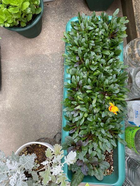 アジュガがプランターに密になっています。 間引いた方が良いでしょうか。 マンションベランダ栽培です。