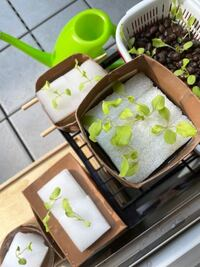水耕栽培についてお聞きしたいです サニーレタスを育てています 微粉ハイポネックスを使用しながら外で育てているのですがどうも元気がないように見えます 出来るだけ液肥の濃度を一定にし水が蒸発したら足す という感じでやっています  外が暑いせいですか? 初めて育てるので気のせいかも知れませんが…   アドバイスなどありましたらお願いします  *間引きはもーすこし大きくなってからする予定です