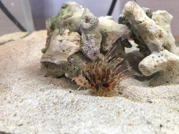 この魚の名前を教えてください。何ミノカサゴでしょうか?胸鰭の先端は割れています。