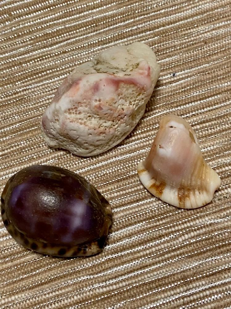 これは何という貝かわかりますか?先日、砂浜で貝殻を3つ拾いました。紫のはタカラガイというみたいですが、他の2つがわかりません。