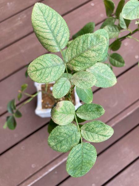 バラの葉っぱの色が悪くて この症状はなんでしょうか? 虫はいなさそうです。