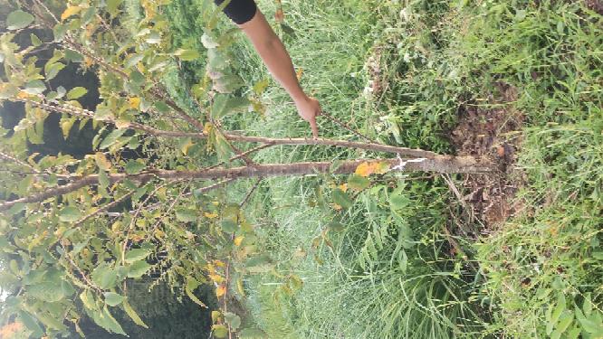桜の苗木を植えて5年経過しました。写真の指を指している枝は切った方が良いでしょうか?大きく形良く育てる為にアドバイスをお願いします!