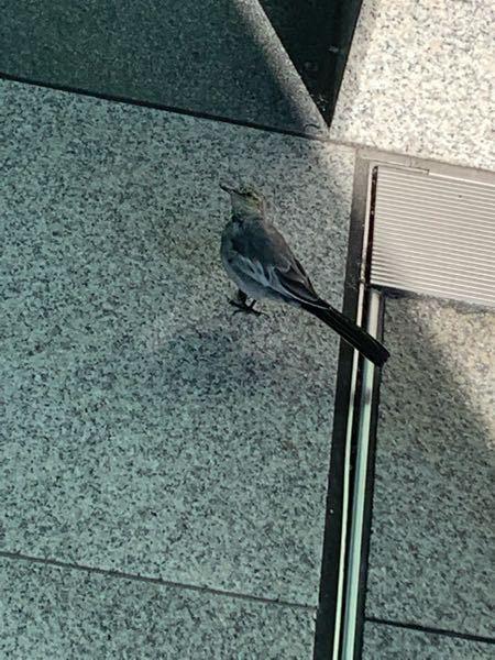 この鳥って鳩の子供ですか?