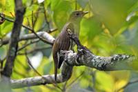 この野鳥の名前をご存じの方、教えてください。