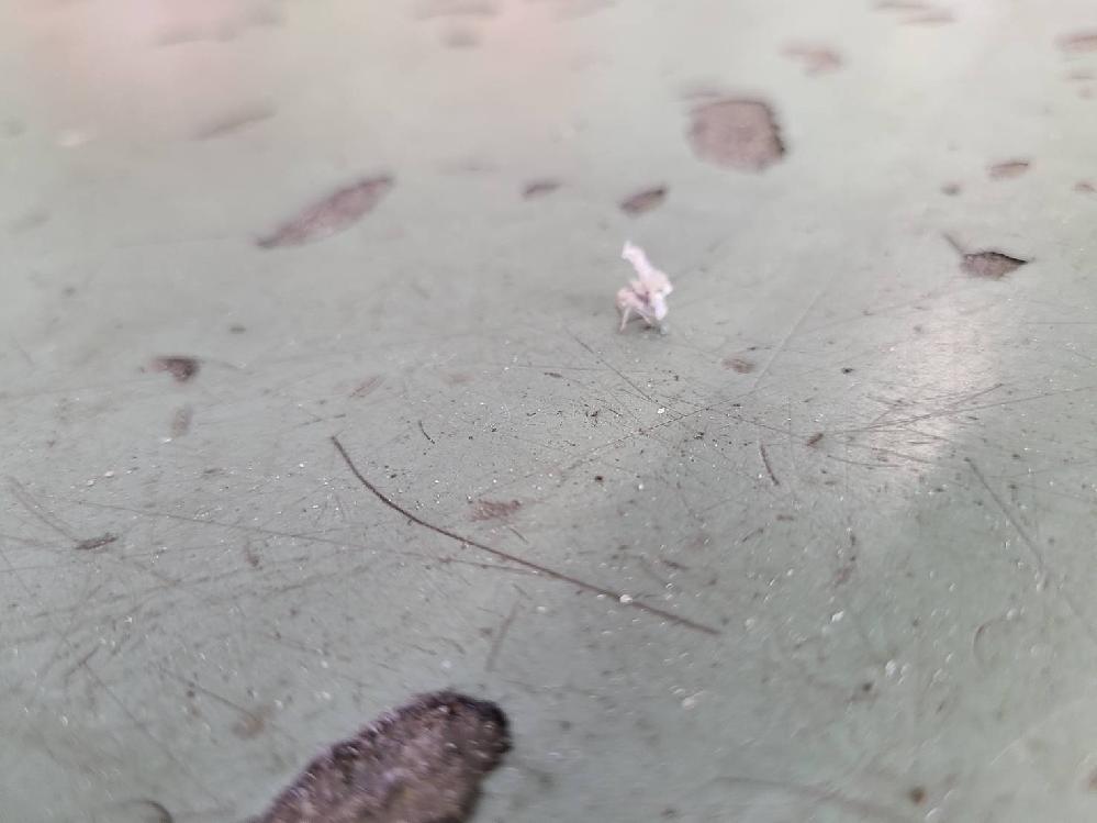 恋人が職場で見た虫?ですが、種類が分かりません。興味で調べているだけですが、ご存知の方がいらっしゃれば教えてください。 ・白くて小さい(0.5cmほど) ・天使の羽根みたいなのがついていた ・跳ねる(多分飛ばない?) ・白い毛?で覆われている(もふもふというほどではない) ・愛知県の海沿いの地域 写真がボケていてすみません。 もしお解りの方がいましたらお教えいただけると幸いです。