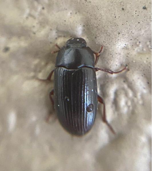 何という昆虫でしょうか。 体長6mmくらいです