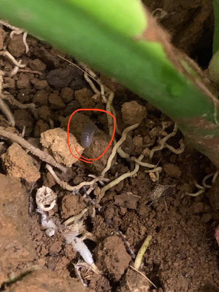 この虫がなんて呼ばれてるかわかりますか? モンステラの土の中で見つかりました。 先日大型アウトレットで買ったモンステラの土の中にこんな虫がいました。おそらくしっかり管理されていなかった感じで安かったので一目惚れして買ってしまいましたが、ここからのケアに迷ってます。 この虫の名前や対策など、他にモンステラを育てるにあたってアドバイスがある方がいましたら嬉しいです。 よろしくお願いします。