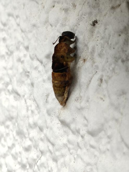 これはなんの蛹でしょうか?