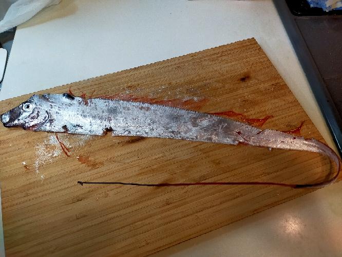 この魚の名前はどなたかわかりますか!? 今日北茨城沖の中深海で釣り上げました。 赤いあごひげ2本あります。 釣り上げた瞬間は頭に赤くて長いトサカのようなものがありました。 背びれも赤いこと...