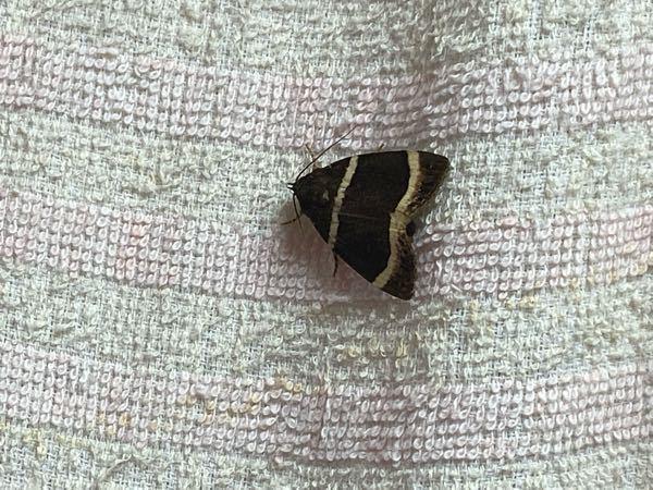 この虫はなんでしょうか? 壁に張り付いてました。