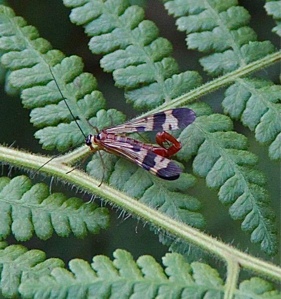 この虫の名前を教えてください。 和歌山の山奥で 昨日みました。 よろしくお願いいたします。