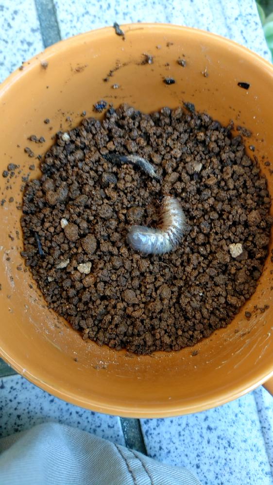 駐車場にいたこの幼虫 何の幼虫でしょう? 分かる方いましたら是非
