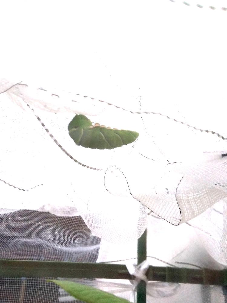 子供とみかんの植木でナミアゲハの幼虫を育てて、夏に数匹外敵か? 行方不明になった為に防虫ネットで囲って育ててたらネットの天井で2日前に前蛹になったのが居ます。東京の板橋で周りがマンションに囲まれて植木の置いてある所への日照もいま昼間7時間程度ですが急に冷え込んだので、蛹化に時間が掛かってると考えて良さそうでしょうか?ご存知の方いらっしゃいましたらアドバイスの程宜しくお願い致します。 同じ環境で数日前にちゃんと支柱で越冬蛹になったのも居ます。