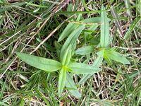 庭によく生えてくる植物なのですが成長する前に刈られてしまうため何なのかわかりません。ご存知の方いらっしゃいますか?