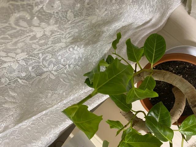 ゴムの木買って半年くらいですが、新しい目が成長して薄い緑くらいの葉がしわしわしてその後育ちません。窓際の日が当たる場所に置いているのですが、理由は何故なのでしょうか、、。