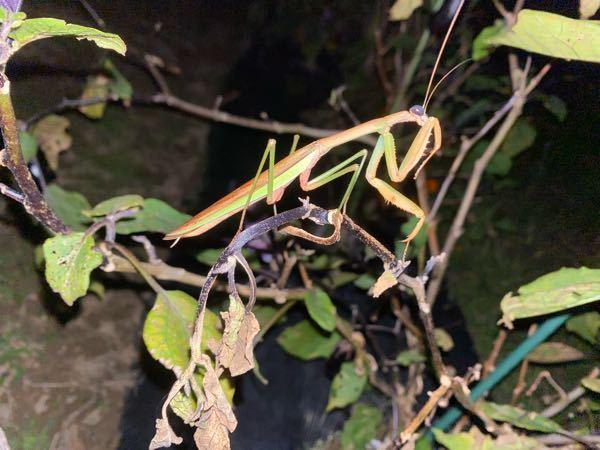 最近、ナスの新芽が全部なくなります。でも害虫を見かけたことが一度もなく原因がわかりません。今日、畑に行くとこんな虫がいました。一連の犯人はこの虫でしょうか? この虫は悪さをしますか?また対策はあ...