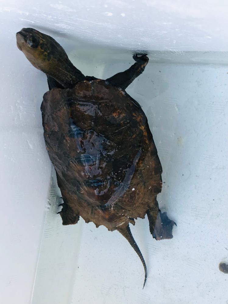この亀は、何という名前の亀かわかる方いらっしゃいますか? 道端でひっくり返っているのを見つけました。今日、交番に届けてくる予定ですが、種類が気になって。分かる方いたら教えてください。
