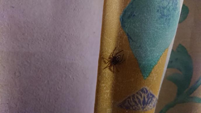 ちょっと写りがぼやけていますが、時々家で見掛ける写真のクモは、何というクモでしょうか? 庭では駆除しましたがセアカゴケグモを2回見掛けたので、セアカの雄とかでなければ良いのですが。 写真のクモも2回ぐらい見ています。背中に模様があります。 以上、宜しくお願い致します。