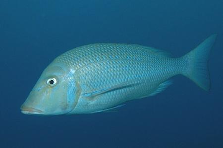"""ハマフエフキって取るの大変なんでしょうか? 先日伊豆諸島で素潜り+銛突きしておりました。 まぁ、私は竹ヤスだったのでまぁ全く魚をつけないままゴムがちぎれ飛んだので何も取れてません・・・(笑 潜っていると海の青さに溶け込んでる、薄ピンクの鯛のような魚がちょいちょいいるではないですか。 大抵2-3匹で家族(?)と思わせるような形で泳いでいて私の事を""""じーっ""""と横目で見ながら横切っていきました。場所によっては数十匹単位で泳いでました。 おっきめな魚だったのでとりあえず追っかけてみたのですが、まぁ散るのが早くて距離は全く縮まらず興味本位で追いかけるのも途中から諦めましたw 上がってから気づいたのですが、あれってもしかしてハマフエフキダイなのではないのかなぁ・・・と。 コロダイ(体に斑点があって鼻が丸い感じなので間違いないかと思う)と一緒に群れている場合もありました。 調べてみるとどちらも美味しい魚のようですが、 ちゃんとした手銛(3mちょいの物)を持っている方々も誰も突いておりませんでした。 あれがハマフエフキダイだとしたら・・・って仮定の話なんですけどもw 高級魚なのにどうして誰も突かないんですかね? たくさん泳いでいたし、あれが美味しい魚ならばたくさん獲られてそうなのに不思議だなぁ~と思って一緒に泳いでました。 私の予想では警戒心が強くて突くのが非常に難しいのかなぁと思っていたのですが・・・そうなのですかね。 つまり、取りづらいから希少価値が高い、ってことですか? 写真はネットで拾ったハマフエフキダイですが、泳いでるときもこんな感じに見えてました。"""