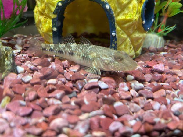 この魚はなんでしょうか? 詳しい方お願いします^ ^