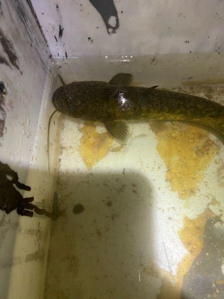 またお魚に関しての質問です。 このナマズの種類はなんですか?上からの写真で分かりますか?
