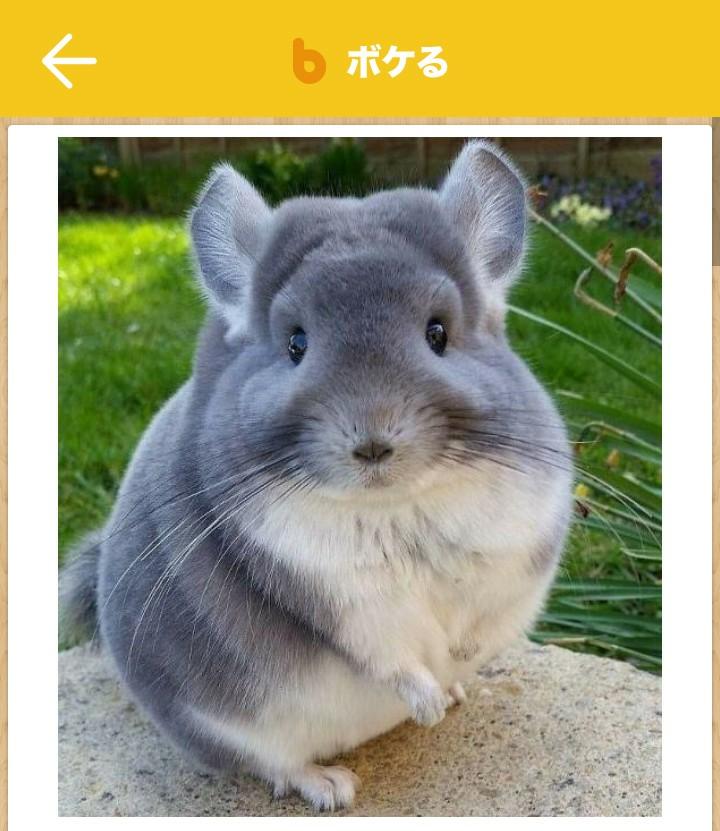 この動物(哺乳類)の名前は何でしょうか? アプリで見てて名前は分からないのですが、とても可愛くて気になるので、どなたかご存知の方はお答えくださると嬉しいです。