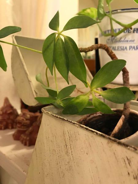 先程質問しましたが、写真を添付し忘れました 再投稿します お世話になります こちらの植物の名前を教えて下さい 根腐れで茎が折れてしまいました 茎をカットして、水耕栽培で根は生えてきますか? 何とか復活させたいです