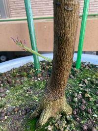 レモンの木を育てています。 写真の通り、根に近いところに芽が生えていました。  自分としてはこの部分に枝があっても困るので、カットしたいです。 現時点で9/30です。 カットするのは時期的にやめておいた方が良いですか? 実がたくさん成っています。 レモンの木が休憩している3月ごろにした方が良いでしょうか?